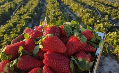Best Places for Fruit Picking Near Yanchep | Strawberry Picking