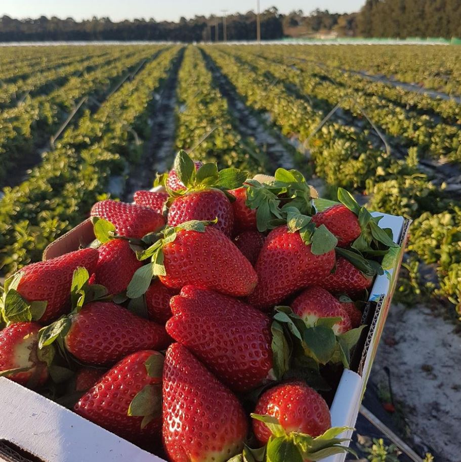 The Queensland Strawberry Industry supplies Australia with luscious strawberries through Winter and into Spring (May to October), also contributing to the Summer production of .